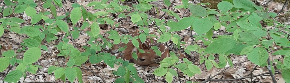 Hiding fawn among some brush.